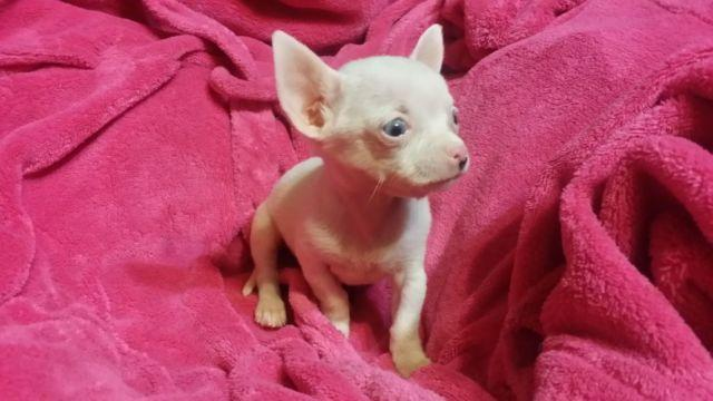 White Chihuahua with Blue Eyes