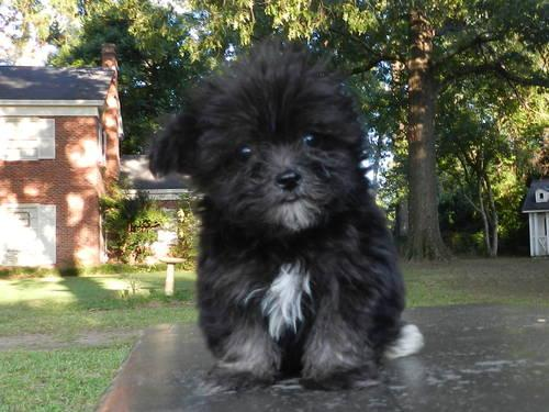 Tiny Teacup Maltipoo For Sale In Nacogdoches Texas Classified