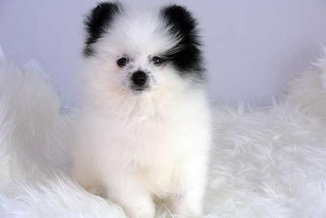 Tiny Teacup Pomeranian Puppies Available Now For Sale In Monroe