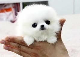 Teacup Puppies For Sale In Pennsylvania Classifieds Buy And Sell