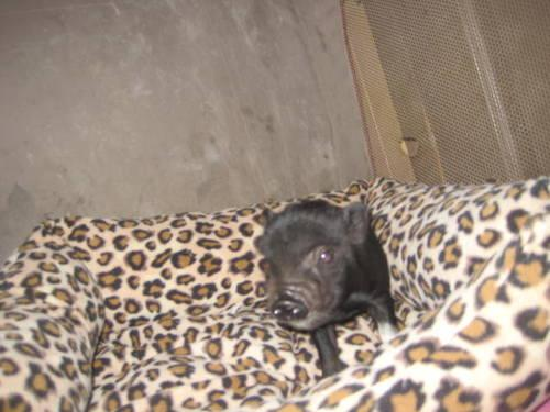 Tiny Teacup Potbelly Pigs For Sale In Florida For Sale In