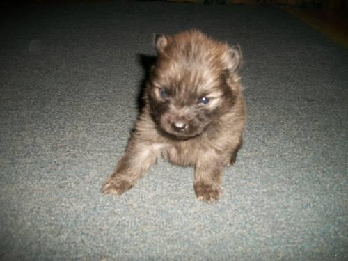 Tiny Teacup Size CKC Reg Pom-A-Chi Puppy Chihuahua / Pomeranian Mix