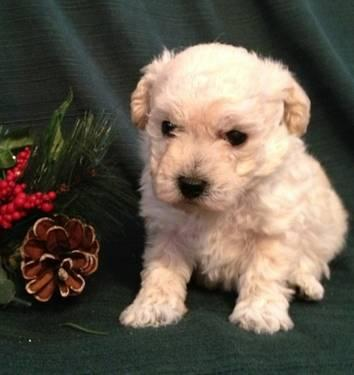 Tiny Toy Poodles For Sale In Ohio Classifieds Buy And Sell