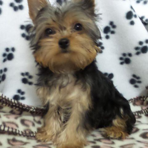 Teacup Yorkie For Sale In Pennsylvania Classifieds Buy And Sell In
