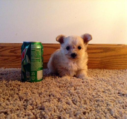teacup yorkie poos for sale tiny teacup yorkie poo puppies for sale in osseo michigan 8310