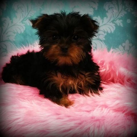 teacup yorkie puppies for sale in ohio tiny teacup yorkie puppies 10 weeks old for sale in 3020