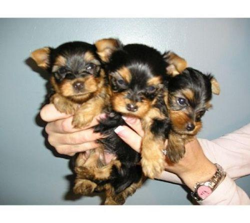 yorkie puppies for sale in richmond va tiny teacup yorkie puppies for sale in virginia beach 1679