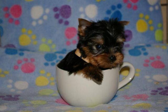 Teacup Yorkie For Sale In Virginia Classifieds Buy And Sell In