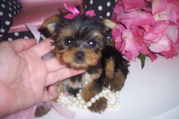 yorkie puppies for sale wilmington nc tiny teacup yorkies for x mas for sale in apple grove 410