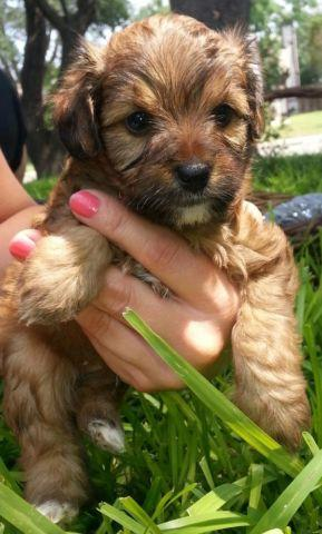 Tiny Teddy Bear Yorkie Puppies For Adoption For Sale In San Antonio