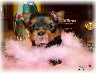 TINY to XXTINY / MICRO YORKSHIRE TERRIER PUPPIES