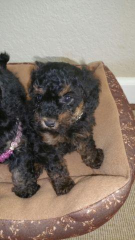 Phantom Toy Poodle For Sale In California Classifieds Buy