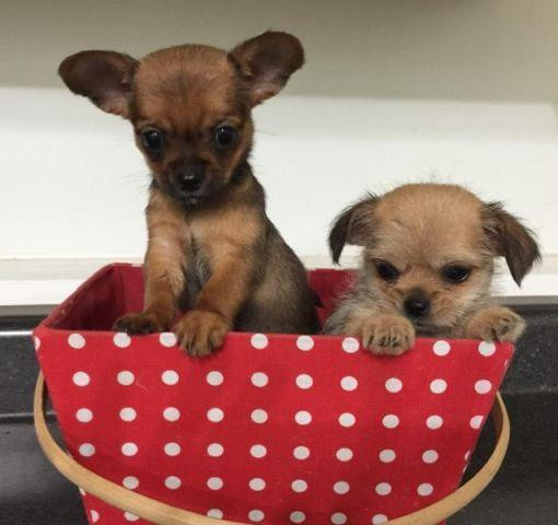 Tiny, Toy Pekingese / Chihuahua puppies for Sale in