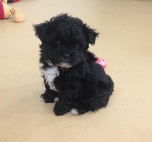 Tiny Toy Pom Poo Pomeranian Poodle Puppy For Sale In