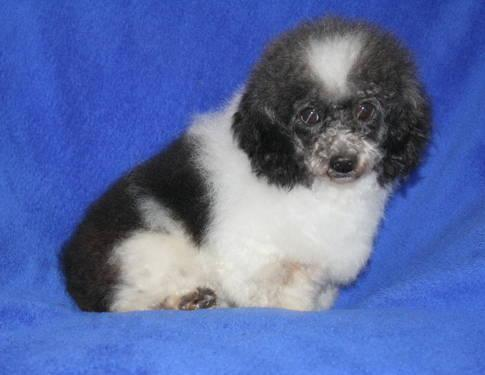 Tiny Toy Poodle For Sale In Springfield Missouri Classified