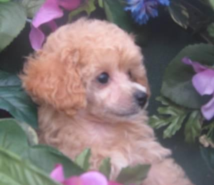 Tiny Toy Poodles For Sale In Tennessee Classifieds Buy And