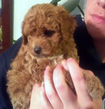 Tiny Toy Poodle Puppies Akc 8 Weeks For Sale In Whitewater