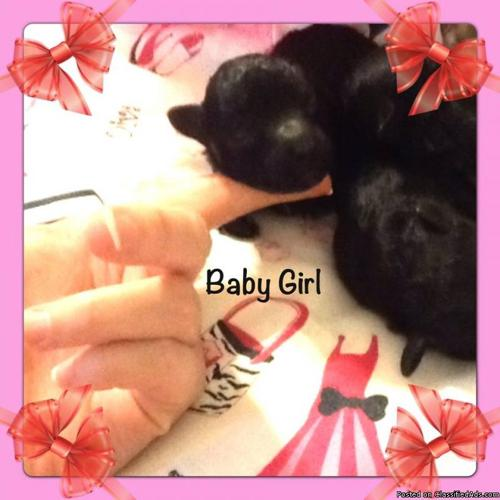 tiny toy poodle puppies black brown silver