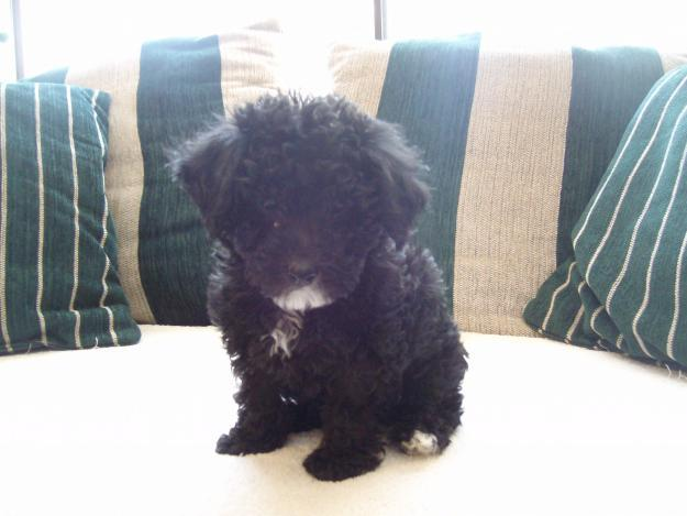 tiny toy poodle puppy for sale in lapoint utah classified
