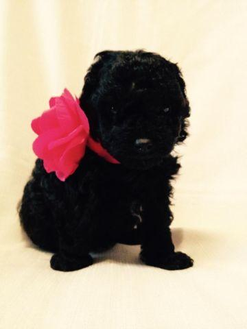 Tiny Toy Poodle Puppy - Black Female - CKC - Little