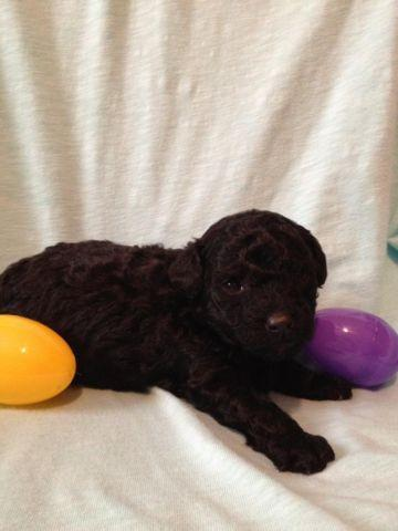 Tiny Toy Poodle Puppy - Black or could go Silver -