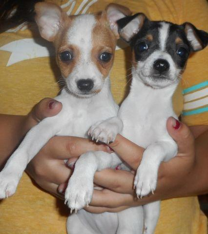 Tiny Toy Rat Terrier Pups 7 Weeks Old Great Mothers Day Gift