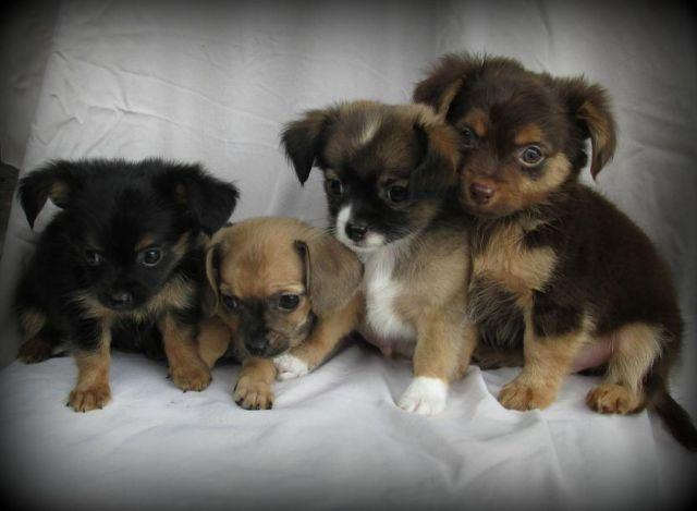 Tiny Toy/Teacup Chi-Weenies Available for Sale in Jacksonville ...