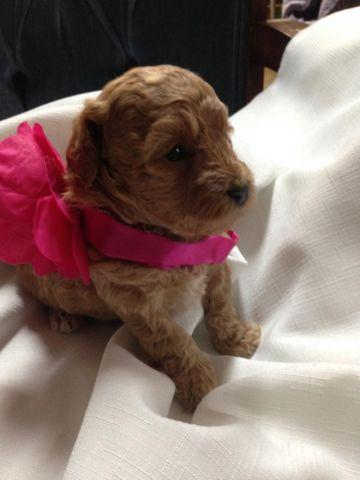 Tiny Toy - Teacup Poodle - AKC Red Female - Ready for