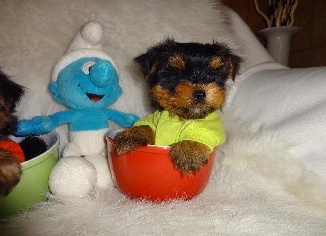 Tiny Toy Yorkie Puppies For Sale In Omaha Nebraska Classified