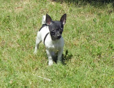 Tiny Ukc Toy Rat Terrier Puppys For Sale In Hohenwald Tennessee