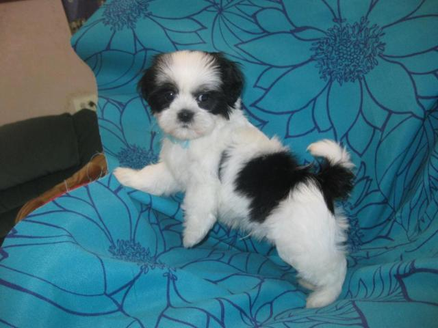 Tiny white and black shih tzu puppy (Male)----9 weeks old ...