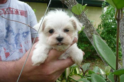 Tiny White Maltipoo Puppies Maltese Father Amp Poodle Mom