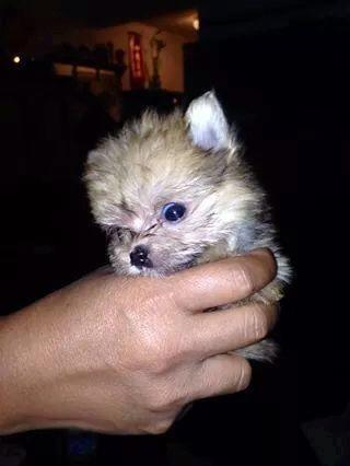 Tiny Yoranian Is A Yorkshire Terrier And Pomeranian Mix Puppy For