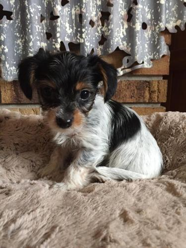 Tiny Yorkiedorkie Puppies For Sale In Cadillac Michigan