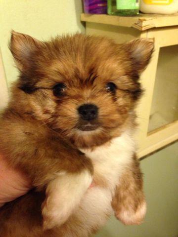 Craigslist Com Sacramento >> TINY Yorkie/Pomeranian mix puppy for Sale in Sacramento, California Classified | AmericanListed.com