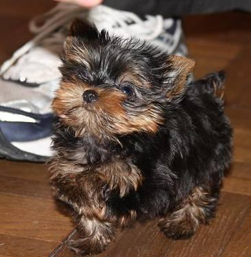 Tiny yorkie puppies For sale @ Amoire Sphynx Paducah Ky for Sale in ...