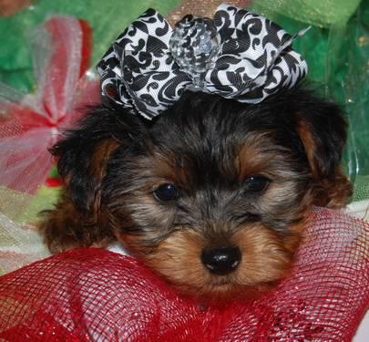 Tiny Yorkshire Terrier Christmas Puppy Ckc For Sale In Arab Alabama