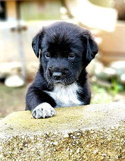Tipper Labrador Retriever Puppy Male