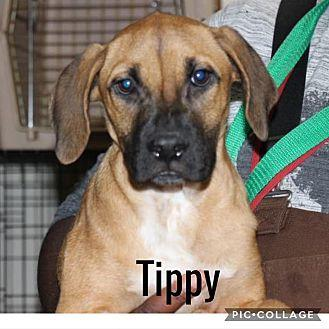 Tippy Boxer Young Female