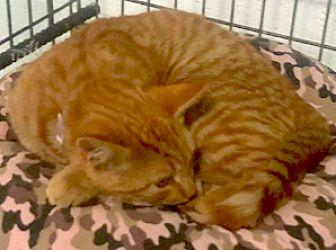 Tito Domestic Shorthair Adult Male