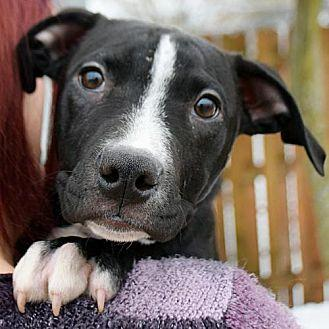 Toby American Staffordshire Terrier Puppy Male