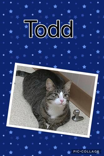 Todd Domestic Short Hair Young - Adoption, Rescue for Sale ...