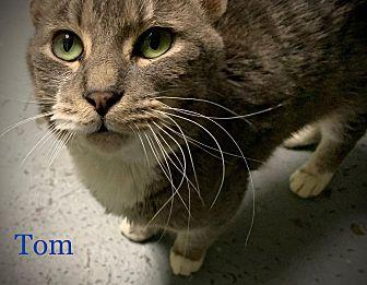Tom Domestic Shorthair Adult Male