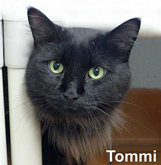 Tommi Domestic Longhair Adult Male
