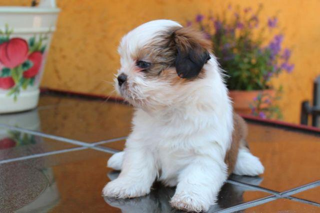 Too Cute Akc Shih Tzu Puppies For Adoption For Sale In Los Angeles