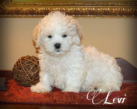 Too Cute Furry Baby 12 Schnauzer 12 Shih Tzu For Sale In