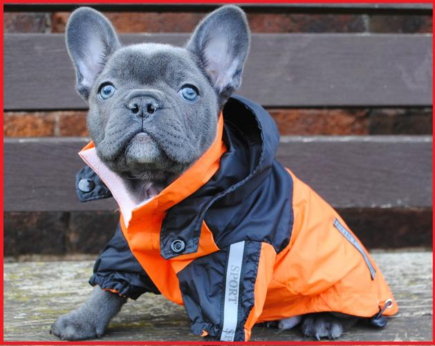 The Blue French Bulldog 12 Things To Know About This