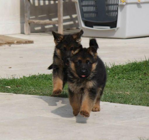 German Shepherd Show Dog Qualities