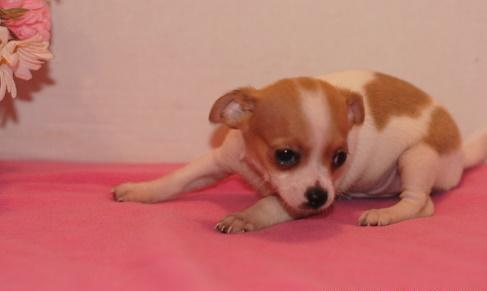 Top quality Chihuahua Puppies Ready Now For Sale