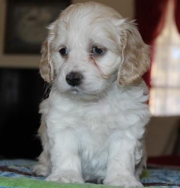 Top quality Cockapoo Puppies Ready Now For Sale